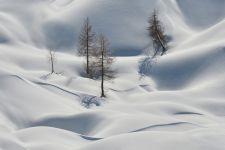 Macesni v snegu